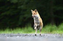 Fox jumping Stock Photography