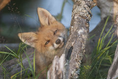 Fox-Junges lizenzfreies stockfoto
