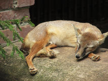 Fox Kaunas zoo. Little Fox Kaunas zoo animals Royalty Free Stock Image