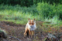 The Fox King Stock Photo