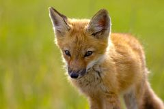 Fox kit Stock Photography