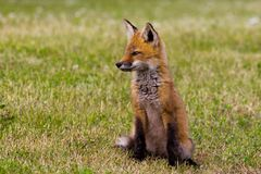Fox kit Royalty Free Stock Photography