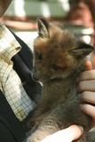 Fox kit. Red fox kit in man's arms Stock Photography