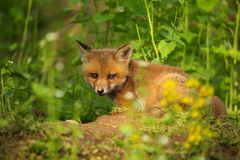 Fox Kit. Red fox kit on top of it's den in spring Royalty Free Stock Photo