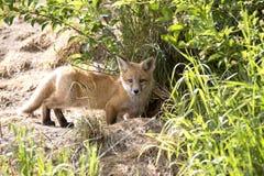 Fox Kit Royalty Free Stock Photo