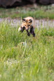 Fox kit jump play Stock Image