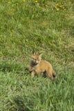 Fox Kit Playing Foto de Stock Royalty Free