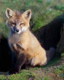 Fox Kit Sitting an der Höhle Lizenzfreie Stockfotos
