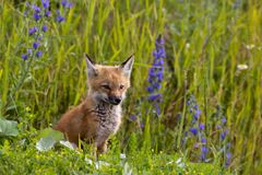 Fox kit & wild flowers. Royalty Free Stock Photography