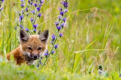 Fox kit & wild flowers. Stock Photo