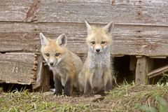Fox Kits Stock Photo
