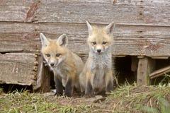 Fox Kits Stock Photo