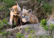 Fox Kits Canada Royalty Free Stock Image