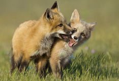 Fox Kits at Play Stock Photos