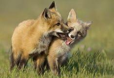 Fox Kits at Play stock photos