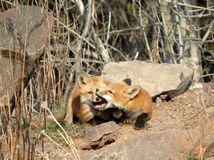 Fox Kits at Play. Two fox kits wrestle and play outside their den on a warm sunny morning Royalty Free Stock Photography