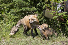 Fox and Kits. Red Fox with Kits near den Royalty Free Stock Images