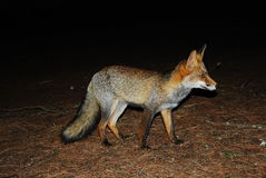 Fox la nuit. Images stock