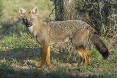 Fox La Pampa Стоковая Фотография