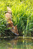 Fox by lake or river. Fox on grassy riverbank reflecting in lake or river Royalty Free Stock Image