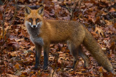 Fox leaves Stock Photography