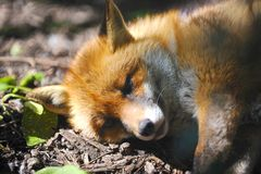 Fox led in the sun. Young fox led in woodland on a summers day royalty free stock photos