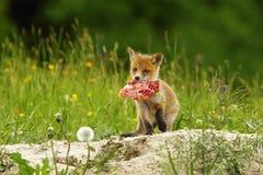 Fox lisiątka łasowania mięso Zdjęcie Stock