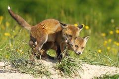 Fox lisiątka je mięso Obraz Royalty Free