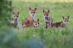 Fox lisiątka Obraz Royalty Free