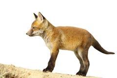 Fox lisiątko Zdjęcia Stock