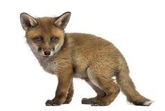 Fox lisiątko (7 tygodni starych) Obraz Stock