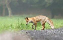 Fox listening Stock Image