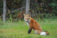 Fox. Little red fox in Montana Stock Images