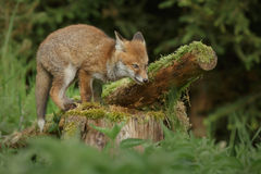 Fox on a log Stock Images