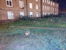 A fox in London Stock Photo
