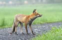Fox looking Stock Photography