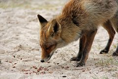 Fox looking for food. A red brown fox looking for food Royalty Free Stock Photography