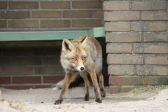 Fox looking for food. A red brown fox looking for food Royalty Free Stock Photos