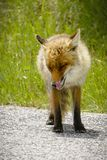 Fox Looking for Food. Beautiful Hungry Fox Looking for Food in Parco Nazionale D`Abruzzo royalty free stock photos