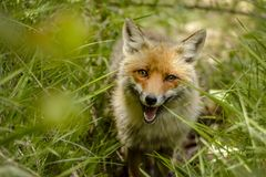 Fox Looking for Food stock photos