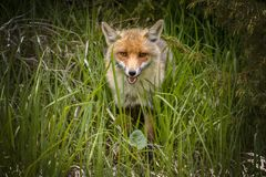 Fox Looking for Food royalty free stock photo