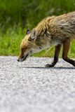 Fox Looking for Food. Beautiful Hungry Fox Looking for Food in Parco Nazionale D`Abruzzo royalty free stock image