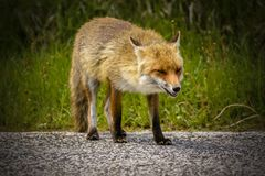 Fox Looking for Food stock photo