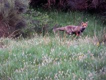 Fox looking at me - curious gaze. Green grass, green hills Stock Photography