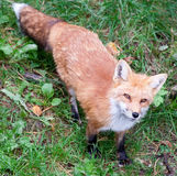Fox is Looking Up at the Camera Stock Image