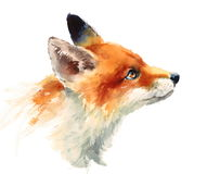 Fox Looking Up Watercolor Animals Illustration Hand Painted. Hand painted Watercolor illustration of Fox isolated on white background Royalty Free Stock Photography