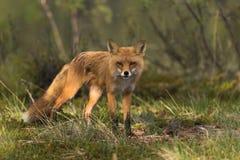 Fox louchant dans le soleil photo stock