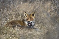 Fox lying in the grass Stock Image