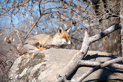 Fox lying on a rock resting under the hot sun - 2 Royalty Free Stock Photos