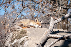 Fox lying on a rock resting under the hot sun - 13 Stock Image